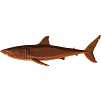 Great White Shark 1