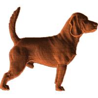 Beagle - Attentive